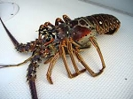Lobsters Live- Will only be delivered after arrival  4 Lobsters -  Approx 1 Ib each