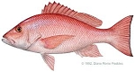 Snapper - Full Fish Cleaned  4 Ibs- The number of fishes may vary based on weight